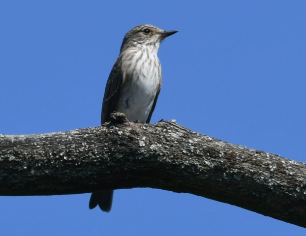 Spotted Flycatcher by Dave Levy - Aug 25th, Hazeley Heath