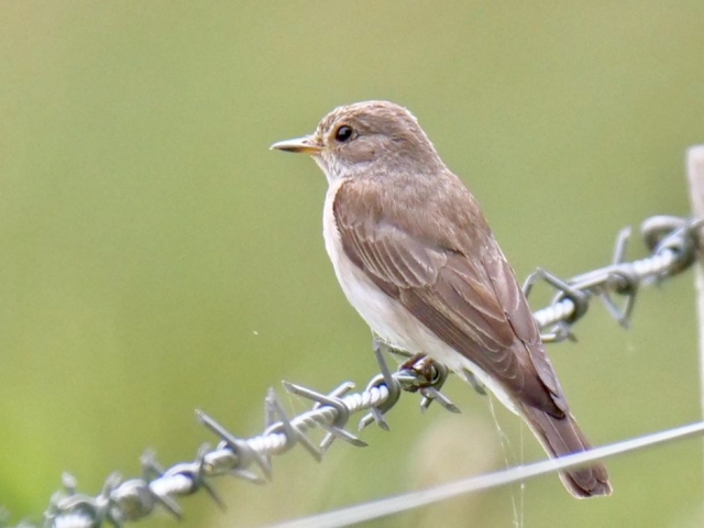 Spotted Flycatcher by Rob Porter - August 3rd, Sherborne, St John