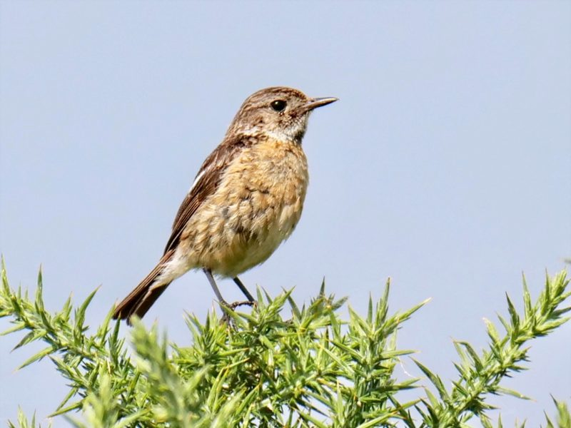 Stonechat by Rob Porter-August 1st, Acres Down