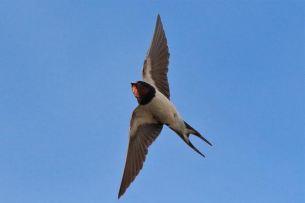 Swallow by Andy Tew - Aug 14th, Fishlake Meadows
