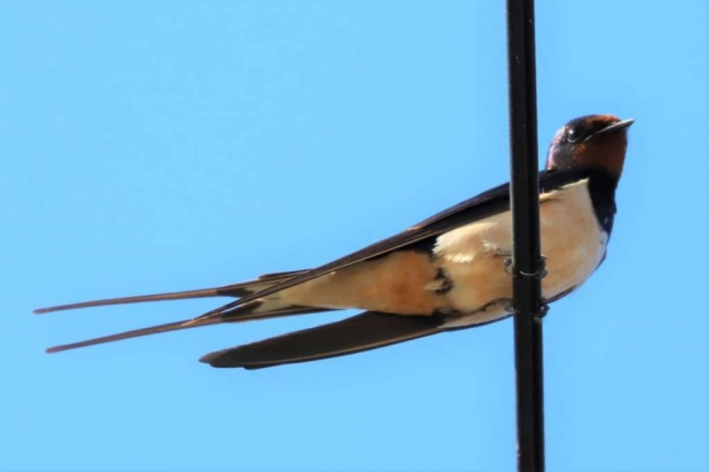 Swallow by Brain Cartwright - Aug 15th, Weyhill