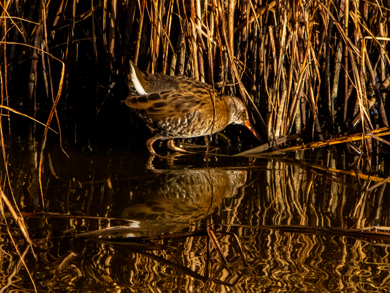 Water Rail by Mike Duffy, Aug 22nd, Pennington Marshes