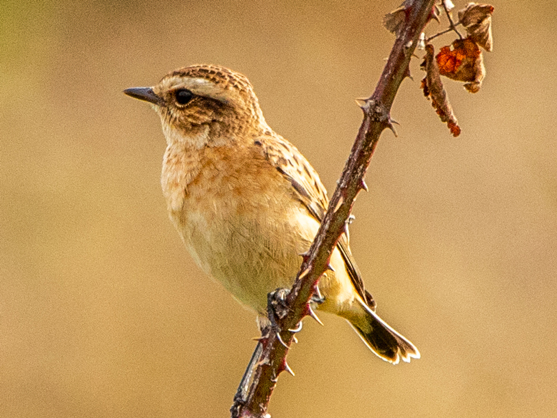Whinchat by Mike Duffy - Aug 28th, Farlington Marshes