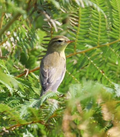 Willow Warbler by Rob Porter - August 13th, Pig Bush, NF