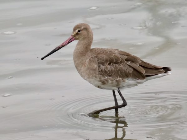 Black Tailed Godwit by Rob Porter - Sep 3rd, Hamble Shore