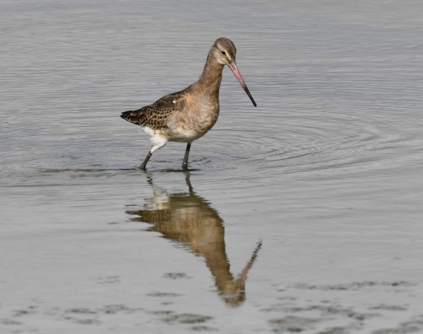 Black-tailed Godwit by Dave Levy - Sep 22nd, Titchfield Haven