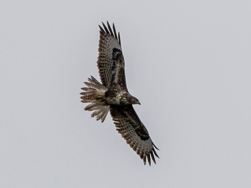 Common Buzzard by Mike Duffy - Sep 6th, Fishlake Meadows