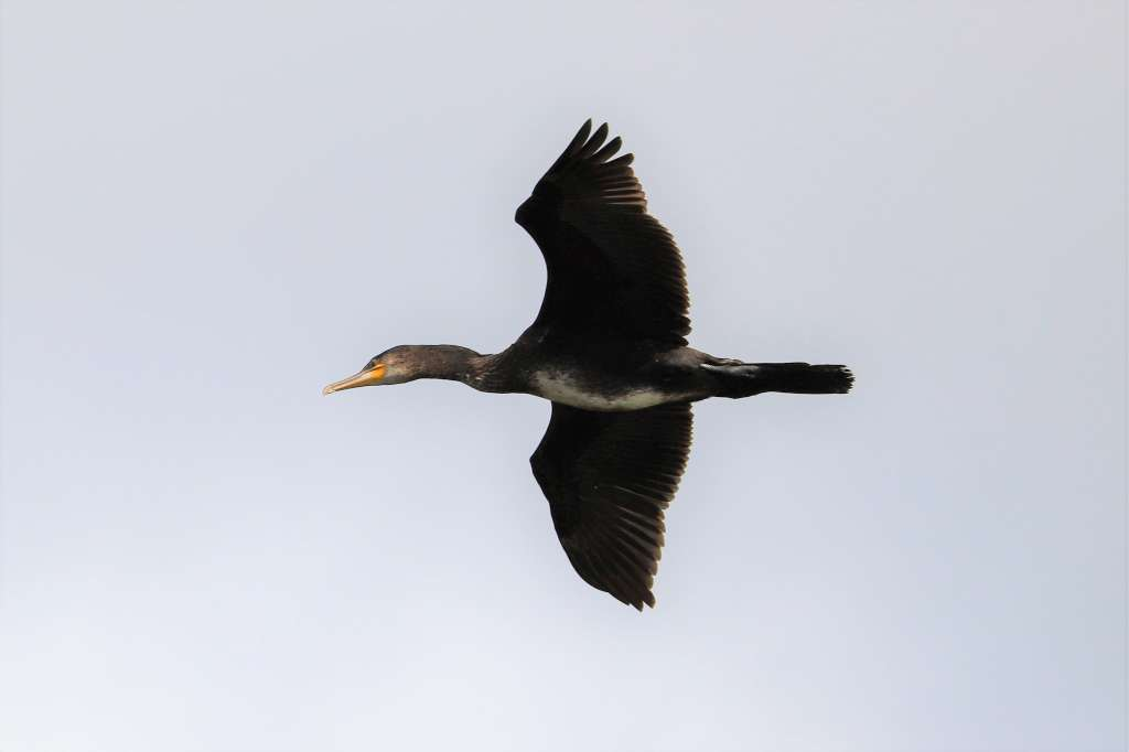 Cormorant by Brian Cartwright - Sep 10th, Anton Lake