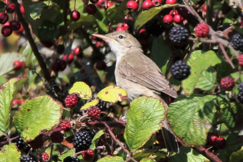 E. Olivaceous Warbler by Andy Tew - Sep 19th, Farlington Marshes