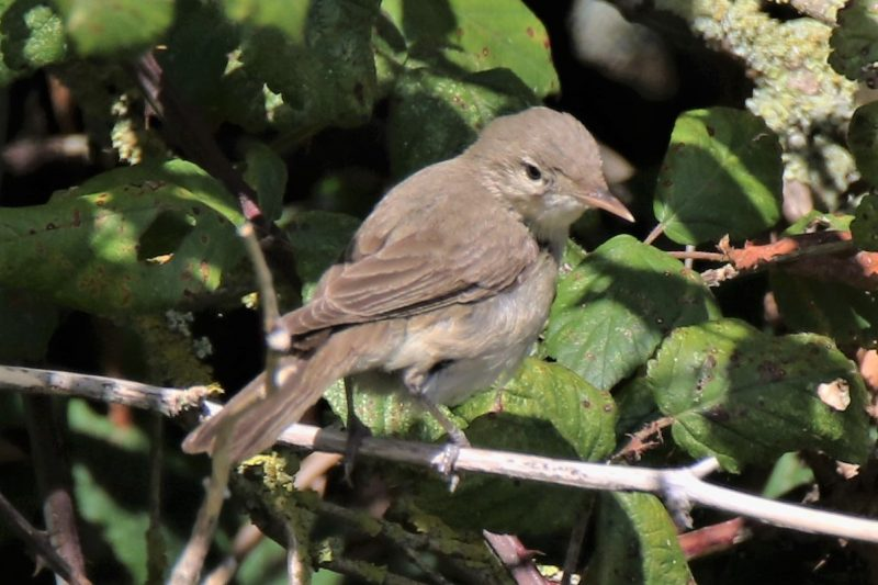 E. Olivaceous Warbler by Andy Tew - Sept 19th, Farlington Marshes