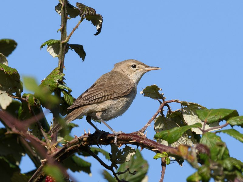 Eastern Olivaceous Warbler by Gareth Rees - Sep 18th, Farlington Marshes