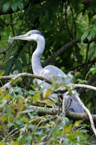 Grey Heron by Brian Cartwright - Sep 3rd, Anton Lake