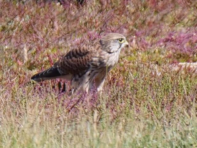 Kestrel by Rob Porter - Sep 8th, Farlington Marshes