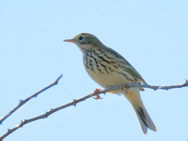 Meadow Pipit by Rob Porter - Sep 17th, Pennington Marsh