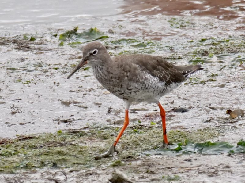 Redshank by Rob Porter - Sept 3rd, Hamble Shore