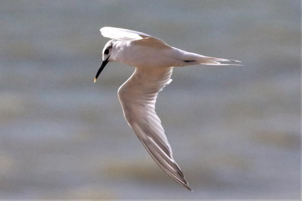 Sandwich Tern by Andy Tew - Sep 20th, Hook with Warsash