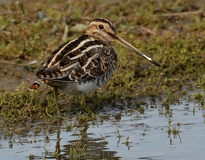 Snipe by Dave Levy - Sep 22nd, Titchfield Haven