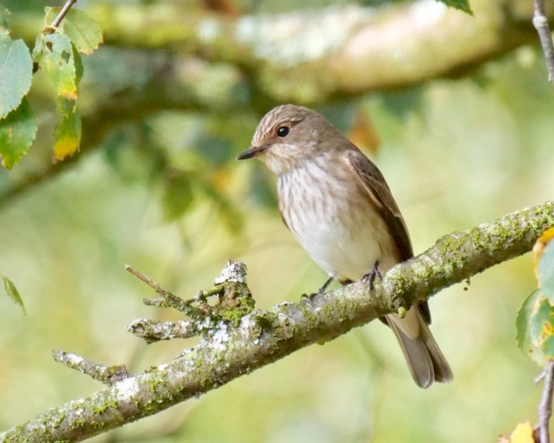 Spotted Flycatcher by Rob Porter - Sep 10th, Emer Bog
