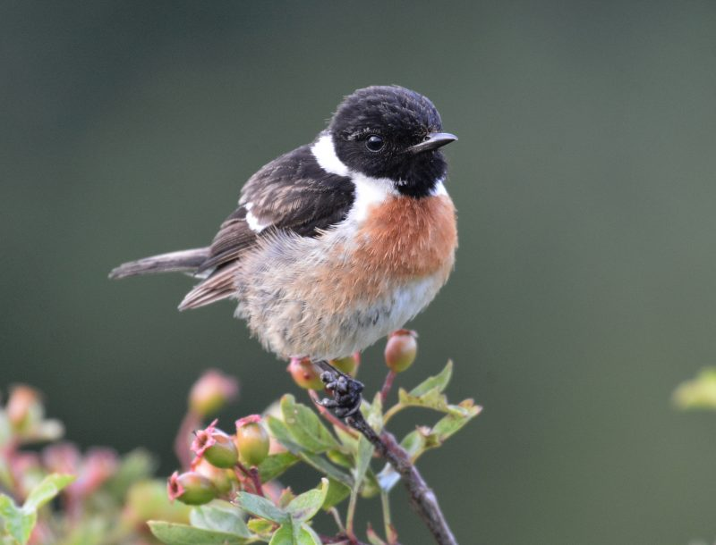 Stonechat by Dave Levy - Sep 2nd, The Vyne