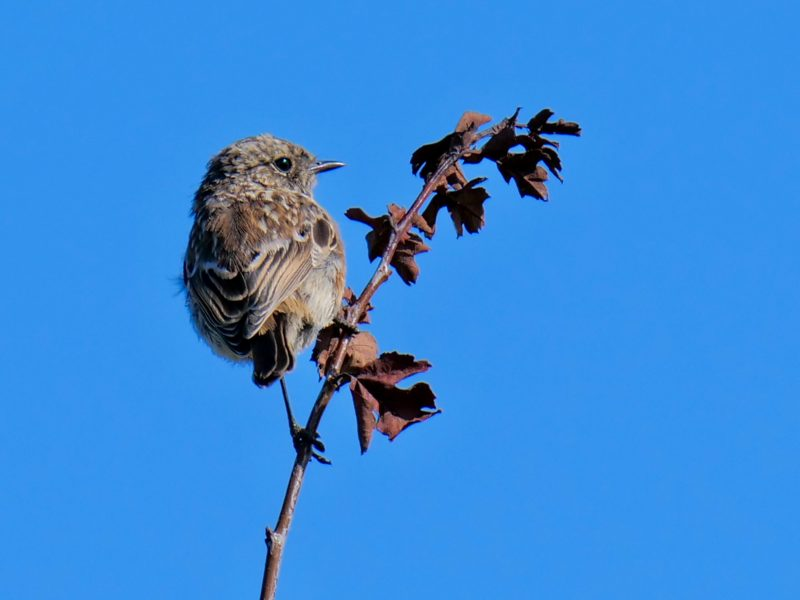 Stonechat by Rob Porter - Sep 17th, Pennington Marsh