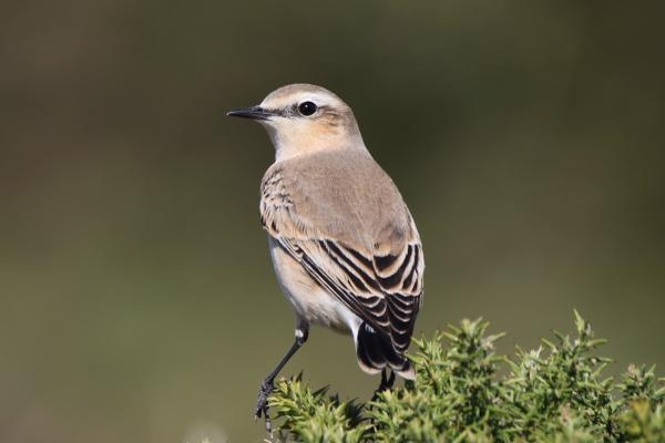 Wheatear by Andy Tew - Sep 20th, Hook with Warsash