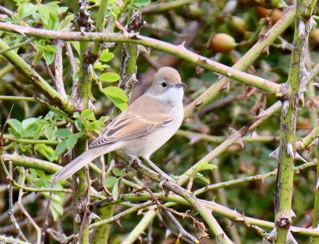 Whitethroat by Rob Porter - Sep 5th, Hooks Link