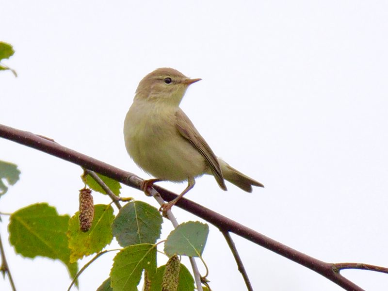 Willow Warbler by Rob Porter - Sep 10th, Emer Bog