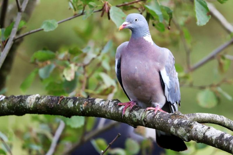 Woodpigeon by Brian Cartwright - Sep 28th, Anton Lake