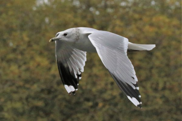 Common Gull by Andy Tew - Oct 29th, Southampton Common