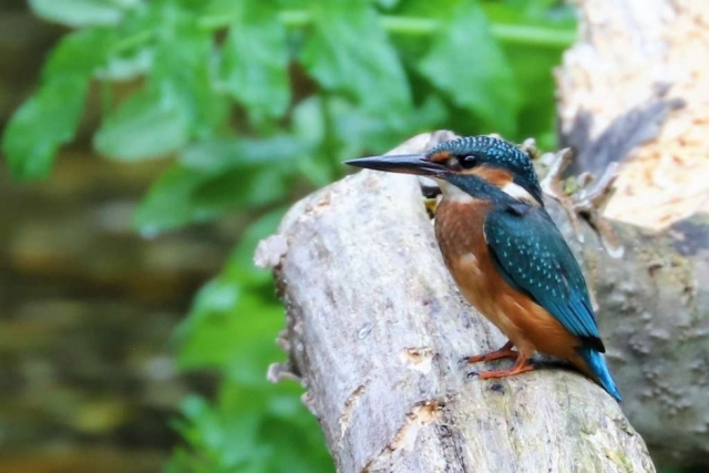 Kingfisher by Brian Cartwright - Sep 30th, Anton Lake