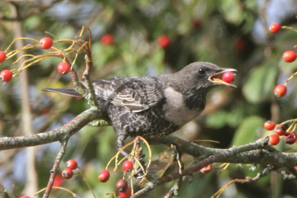 Ring Ouzel by Andy Tew - Oct 9th, Leadenhall NF