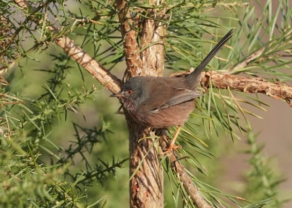 Dartford Warbler by Martin Bennett - Nov 11th, Furze Hill, NF