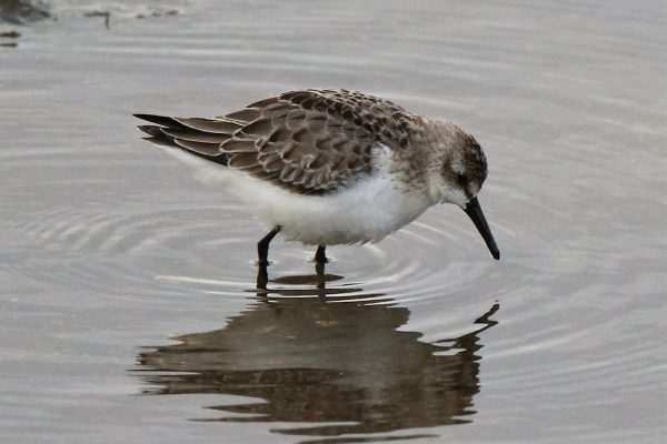 Semipalmated Sandpiper by Andy Tew - Nov 16th, Oxey Marsh