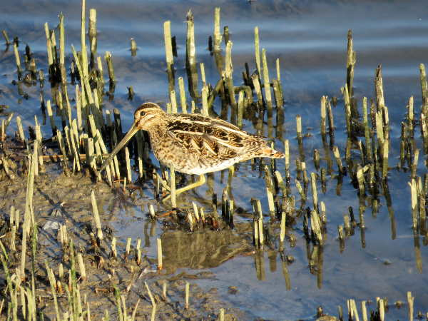 Snipe by Gower Lloyd - Feb 13th, Farlington Marshes