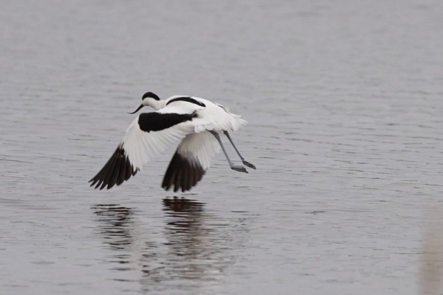 Avocet by John Scamell - Jan 7th, Hampshire