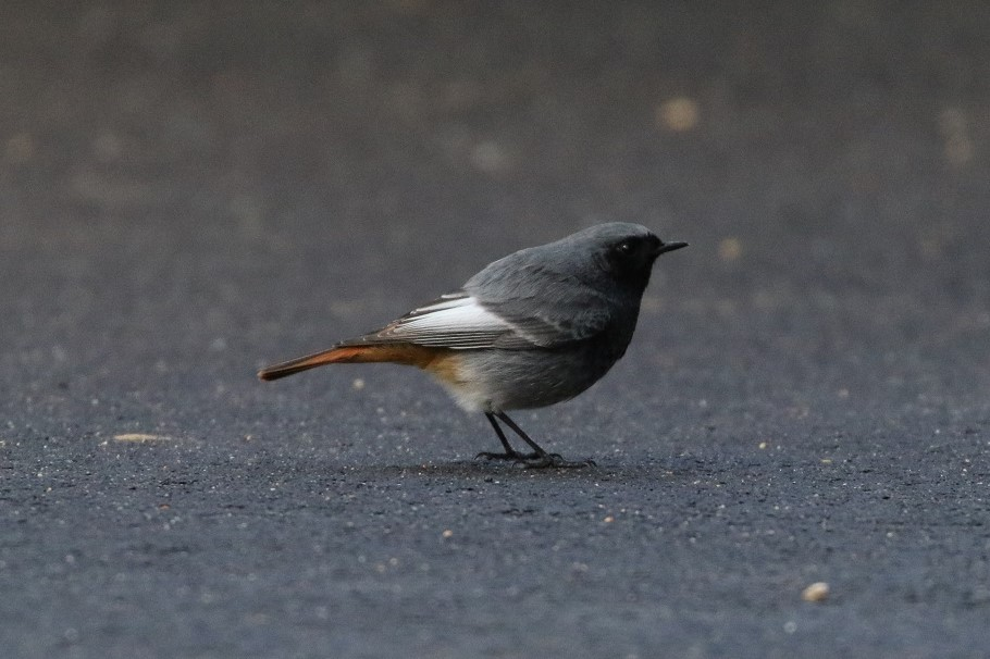 Black Redstart by Doug Yelland - Jan 12th, Lee-on-the-Soent