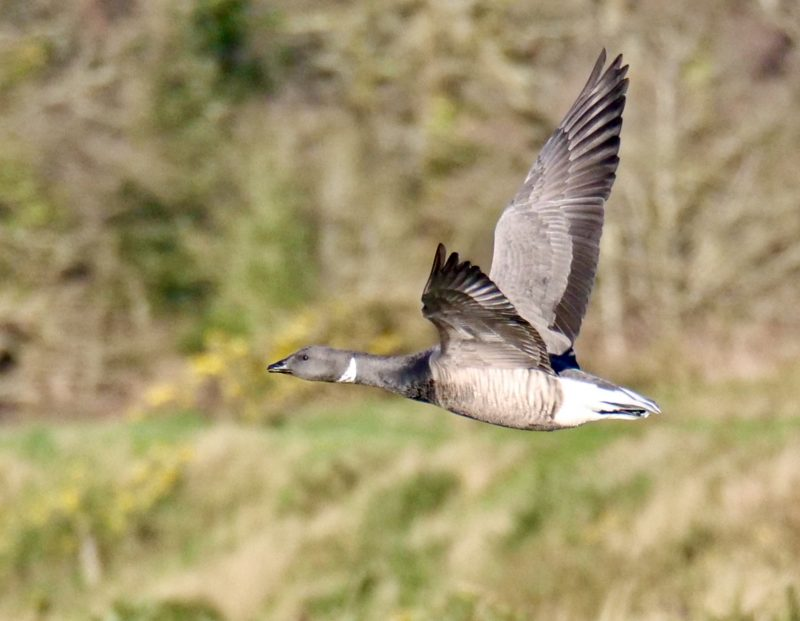 Brent Goose by Rob Porter-Jan 10th, Oxey Marsh