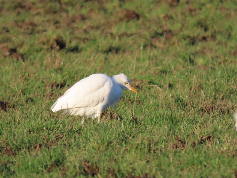 Cattle Egret by Kay Shillitoe - Jan 10th, Warblington