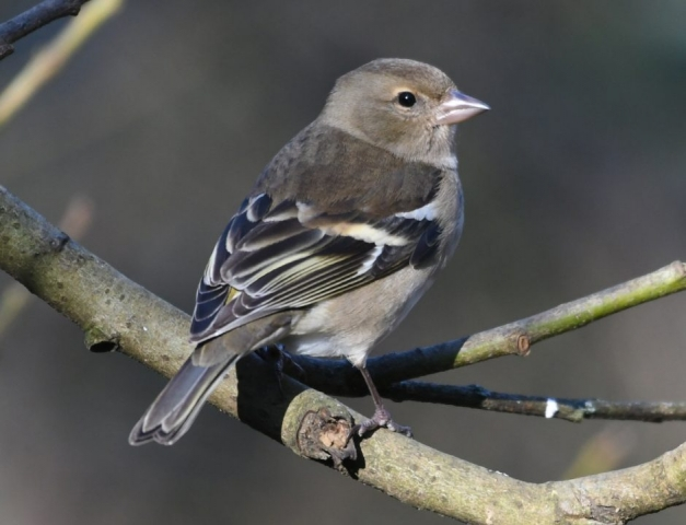 Chaffinch by Dave Levy - Jan 19th, Blashford Lakes