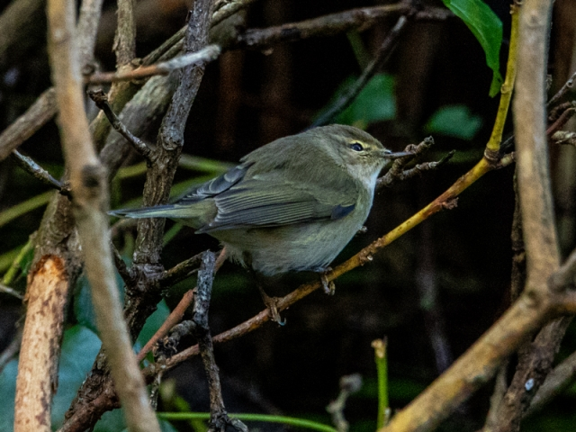 Chiffchaff by Mike Duffy - Jan 28th, Barton Mill