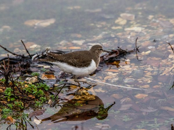 Common Sandpiper by Mike Duffy - Dec 27th, Blashford Lakes