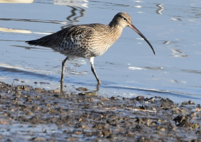 Curlew by Peter Hyde - Jan 21st, Hamble