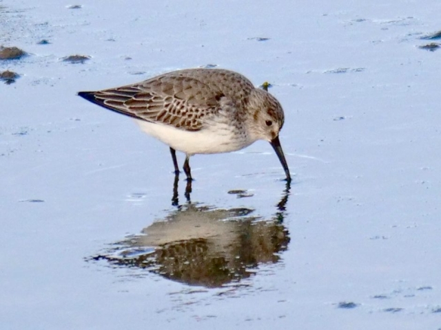 Dunlin by Rob Porter-Jan 20th, Oxey Creek