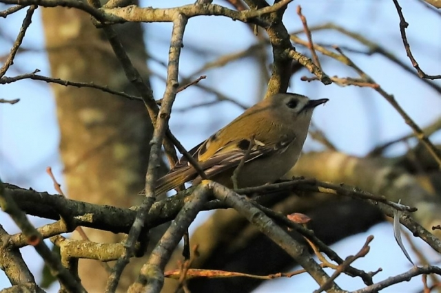 Goldcrest by Brian Cartwright - Jan 1st, Anton Lakes