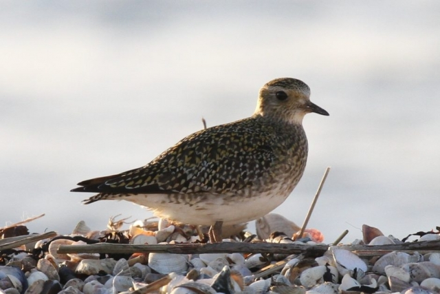 Golden Plover by Bob Marchant - Jan 3rd, Hook-with-Warsash