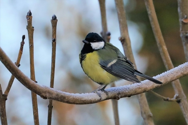 Great Tit by Brian Cartwright - Jan 19th, Anton Lakes