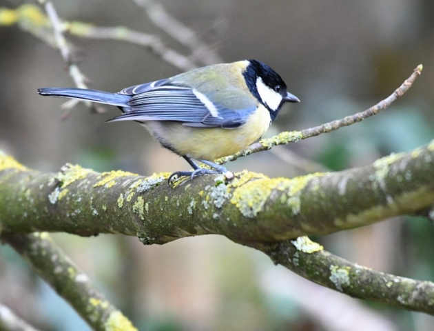 Great Tit by Dave Levy - Jan 5th, The Vyne