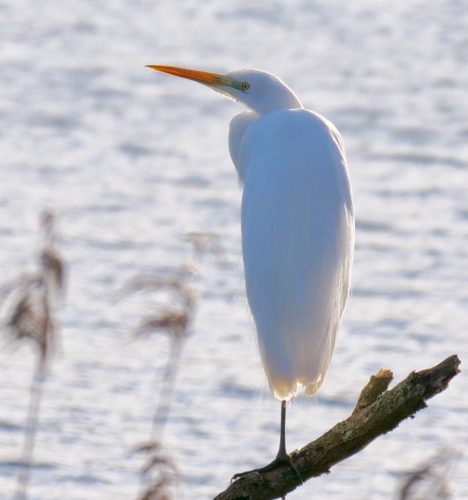 Great White Egret by Rob Porter-Jan 17th, Blashford Lakes