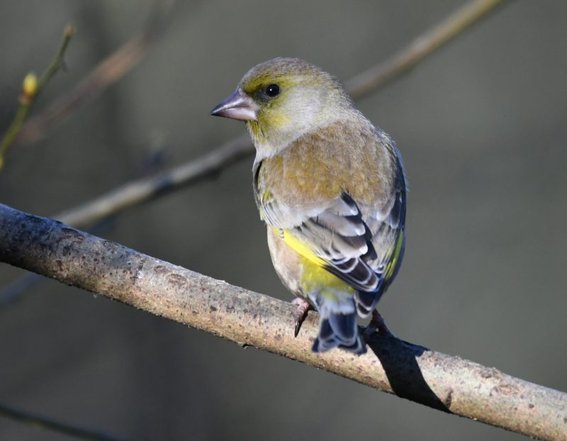 Greenfinch by Dave Levy - Jan 19th, Blashford Lakes