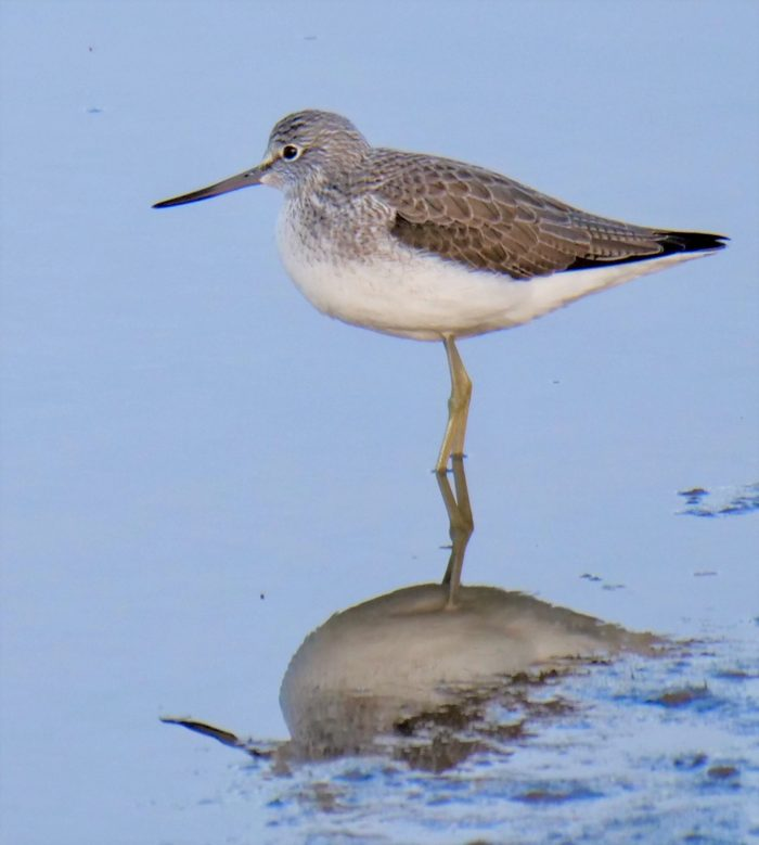 Greenshank by Rob Porter-Jan 20th, Oxey Creek